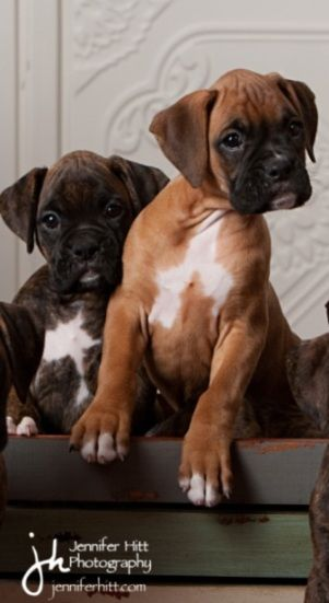 """""""Whaaaattt?"""" Cute boxer pups i would take both of them I love there faces too cute"""