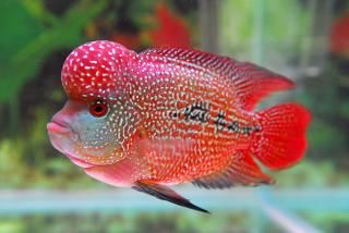 flowerhorn fish pictures I HAVE NO EXPERIENCE WITH THIS FISH, I THINK FROM WHAT I HAVE SEEN IT'S LIKE THE DISC FISH, PRETTY BUT PROPIETRY TANK.