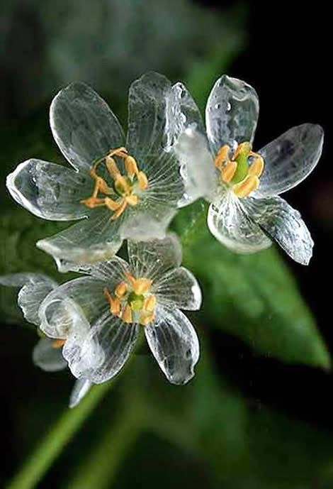 Diphylleia grayi (Skeleton flower), Grays Diphylleia or Umbrella Leaf ~ The petals become transparent with the rain.