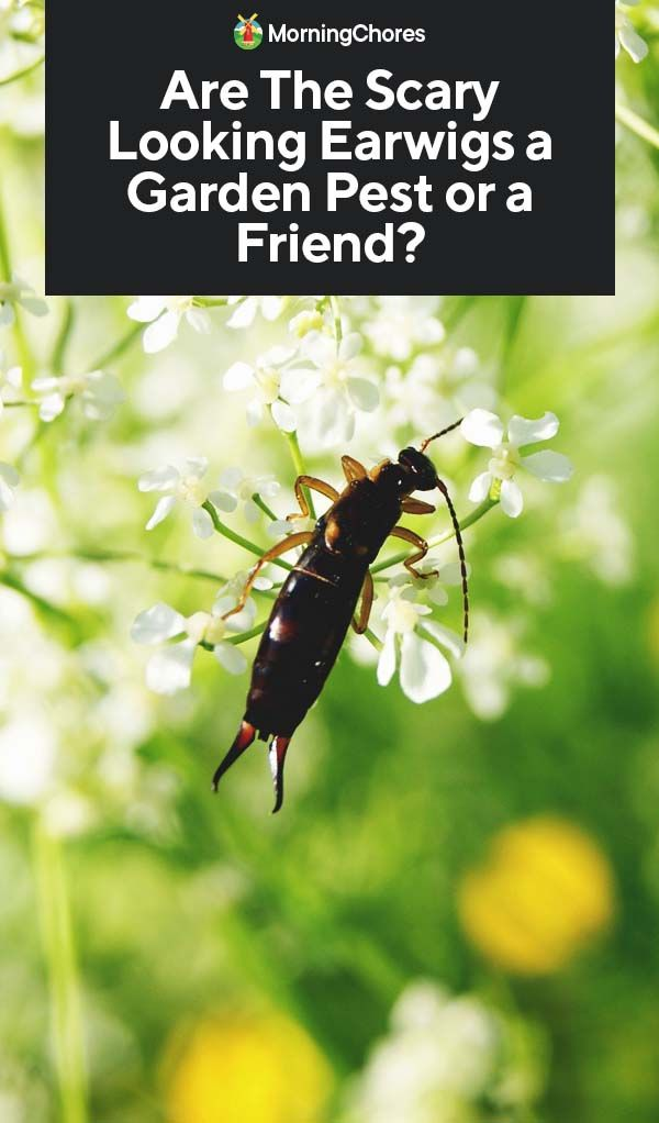 Are The Scary Looking Earwigs a Garden Pest or a Friend? | Gardening
