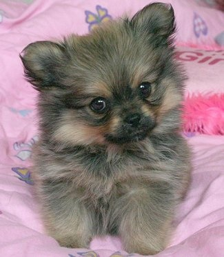 this pek a pom reminds me of my pek a pom bentley :( miss him