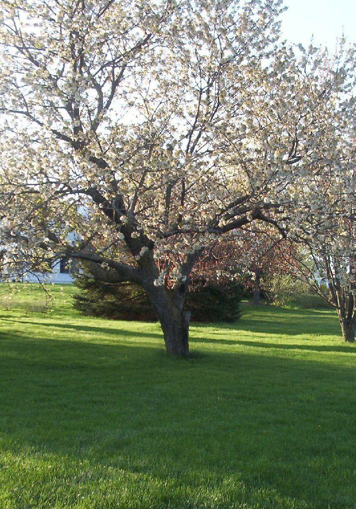 Prunus Avium Rainier Rainier Cherry Myrtle Tree Rainier Cherries Lawn And Landscape