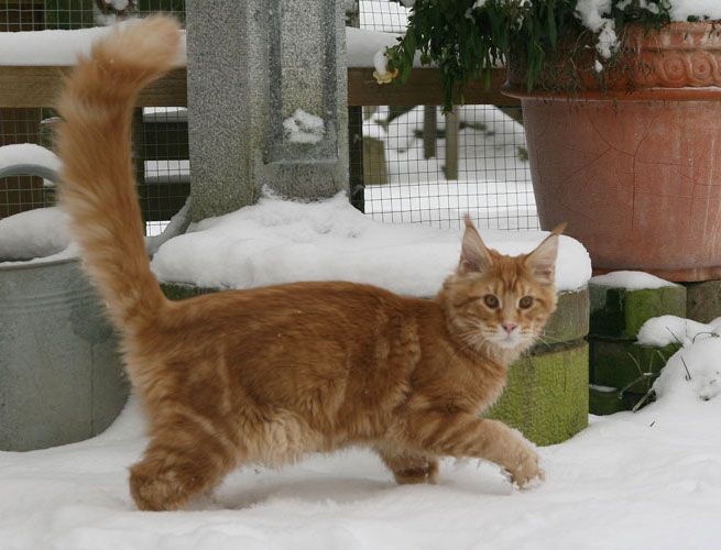 Maine Coon, Red Tabby Blotched (d 22). Alwaro Calvados