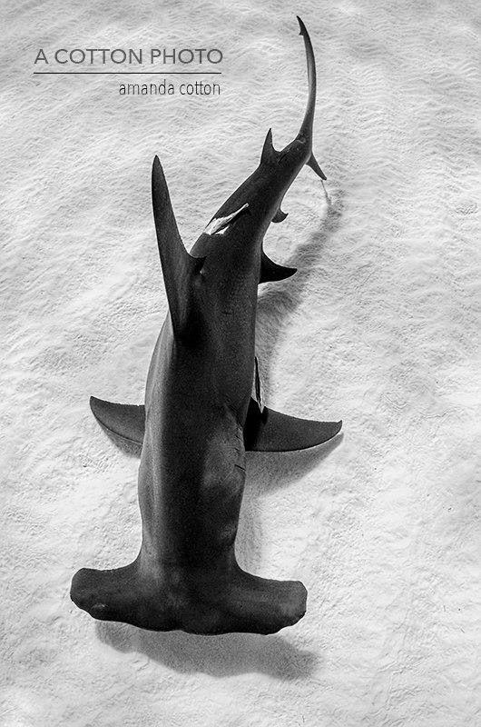 Tiburón martillo (Sphyrnidae)