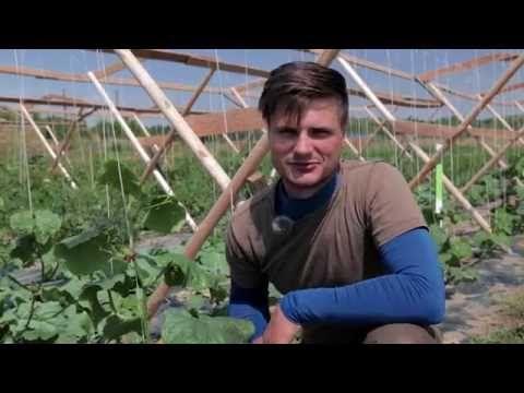 Gurke fixieren, mulchen & düngen - YouTube