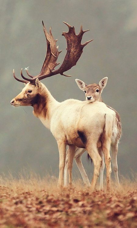 Nature Picture -- Fallow Deer Photo -- National Geographic Photo of the Day