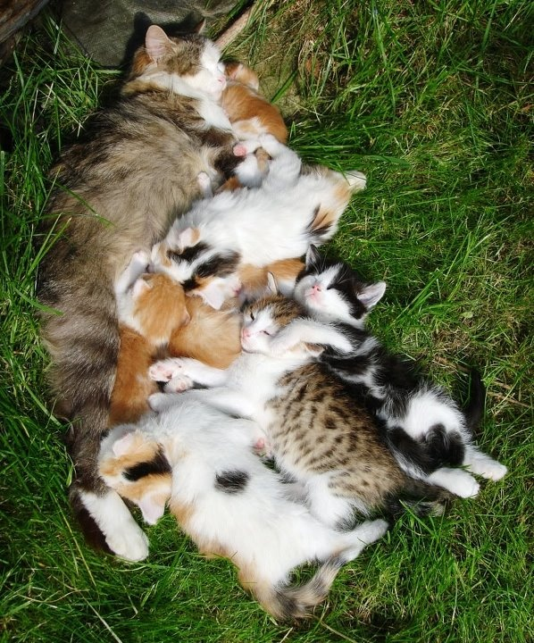 Relaxing on cat lady's front lawn ....Crazy Cats, Big Families, Sweets Dreams, Cat Cat, Baby, Crazy Cat Lady, Mama Cat, Kittens Cuddling, Animal