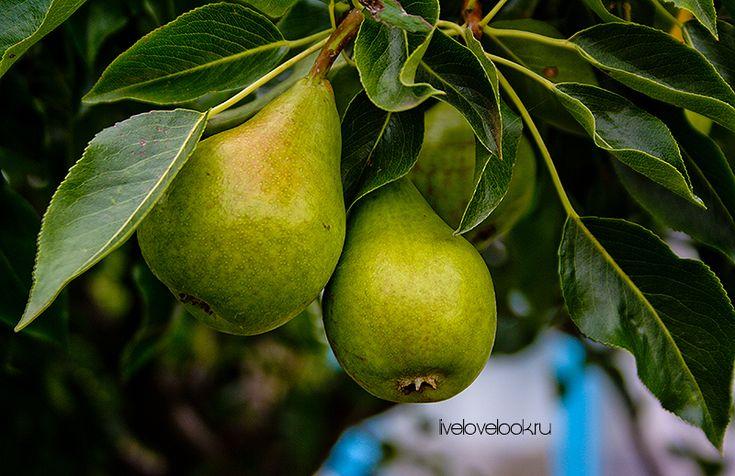 Летние фрукты: груши