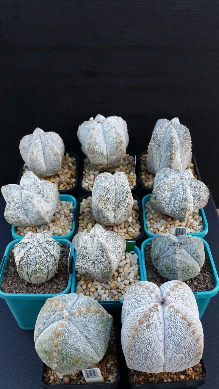 Astro myriostigma varieties  (2017 May)