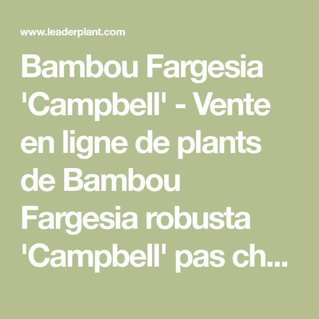Bambou Fargesia 'Campbell' - Vente en ligne de plants de Bambou Fargesia robusta 'Campbell' pas cher   Leaderplant