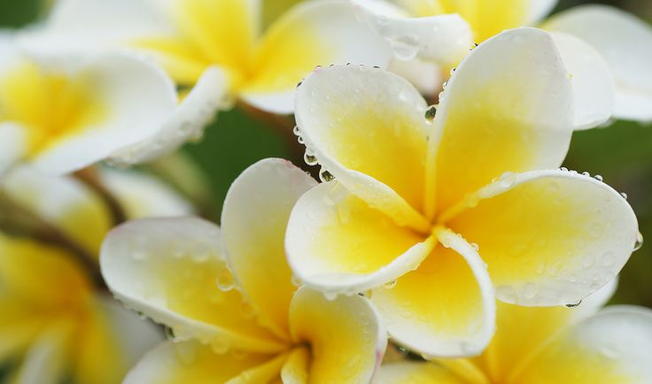 https://flic.kr/p/21ZvfCs | After the storm (001/365) | We had another big storm this afternoon. Very good for the garden but not great for going on a photography walk. These Frangipani flowers which hang over my fence are on my neigbour's tree which is more than forty years old.