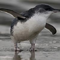 The little Blue Penguin...could it be Forest and Bird's Bird Of The Year 2012? So deserving!
