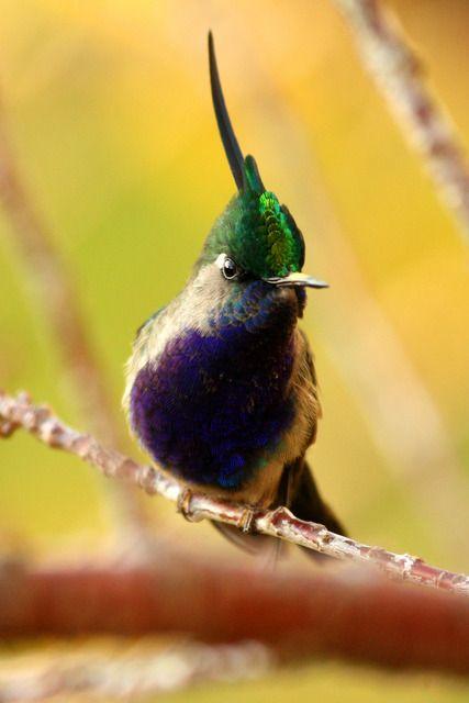 Foto beija-flor-de-topete (Stephanoxis lalandi) por Luciana Shiraichi | Wiki Aves - A Enciclopédia das Aves do Brasil