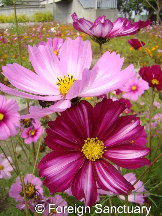 Two Beautiful Cosmos! - Flower Festival, Taiwan ----> Crazy About Flowers - Flower Festivals in Taiwan [http://foreignsanctuary.com/2013/09/24/crazy-about-flowers-flower-festivals-in-taiwan/]