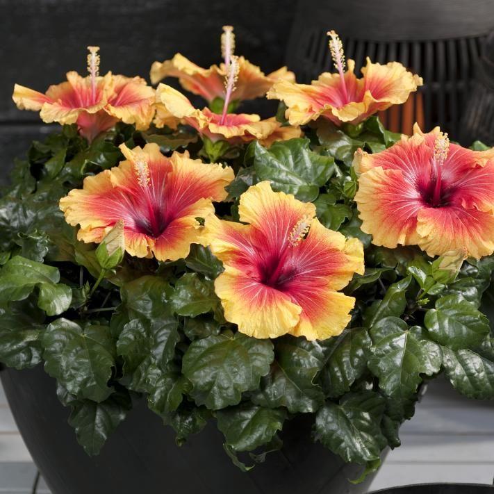 21 best bienenfreundliche pflanzen images on pinterest balcony ornamental plants and. Black Bedroom Furniture Sets. Home Design Ideas
