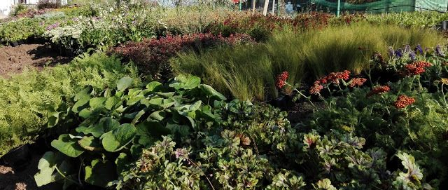 Selectie plante design gradina - planting design. Arhitect peisagist alexandru gheorghe. Flori perene, idei amenjare gradina flori. Gradina naturalista, stil, design, idei. Amenajre gradina, idei amenjare gradina, peisagist.