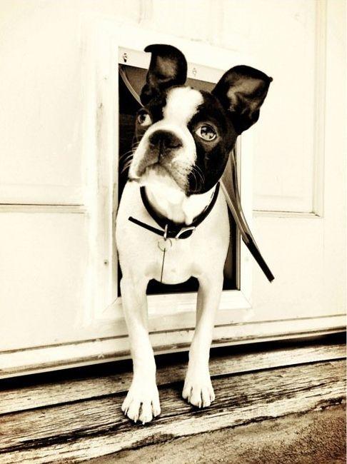 Darling Boston Terrier
