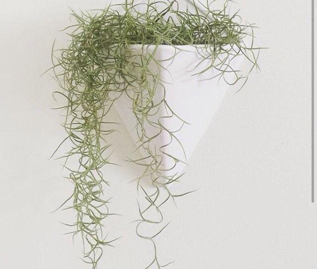 In Hawaii, we call Spanish moss, Pele's hair, for the goddess Pele.