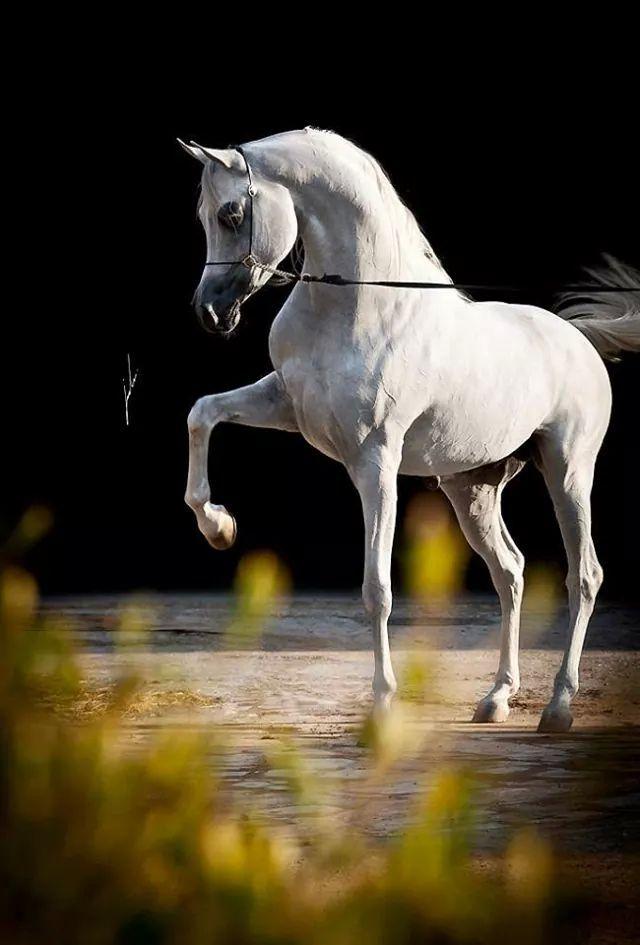 WH York (Marwan Al Shaqab x WH Moneca Ren) 2006 Arabian Stallion © Nawaf Al Johani