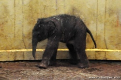 New Elephant Baby in the Budapest Zoo for 2013 Valentine's Day!
