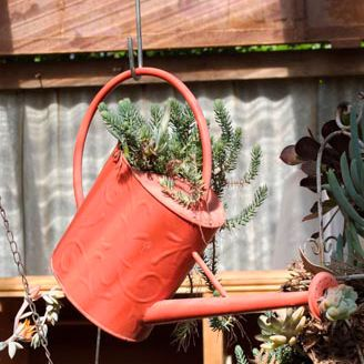 Watering can plant in Gerard's greenhouse. Omeo, Easter 2014.