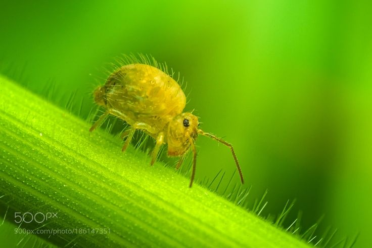 Springtail (Collembola) by riankrenzerdate December 3 2016 at 04:54AM