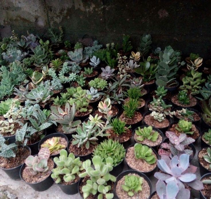 Aneka kaktus dan sukulen
