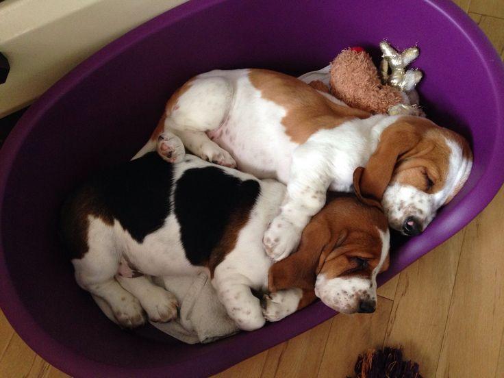 #basset hound love #baby bassets