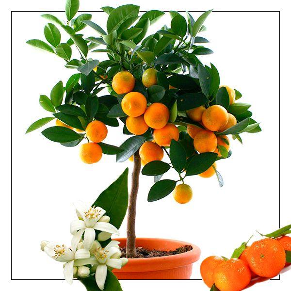 Zdá se Vám pěstování citrusů náročné? Nebojte se. V době květu Vás jejich vůně okouzlí a následná sklizeň vlastních plodů Vám dodá pocit čehosi výjimečného. Přes léto citrusům vyhovuje venkovní umístění, částečně na slunci, nebo za jižním či západním oknem. Přihnojujeme hnojivem určeným speciálně pro citrusy. Přezimují v chladné místnosti s dostatkem světla. https://eshop.starkl.com/mandarinka-101530