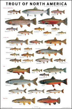 "Trout of North America Poster    SKU: 0-SAN-10  Illustrated by Joseph R. Tomelleri. The state-of-the-art in trout identification and appreciation. Thirty-four types of trout in relative scalefrom the tiny golden trout to the massive steelhead, each fish is represented at 40% of average size, all depicted with fantastic accuracy. 25 x 38"", full-color on 80-lb paper.    Artist: Joe Tomelleri     Size: 25"" x 38""    All Fish Pictured: Coastal rainbow trout, steelhead, inland redband trout, Eagle…"