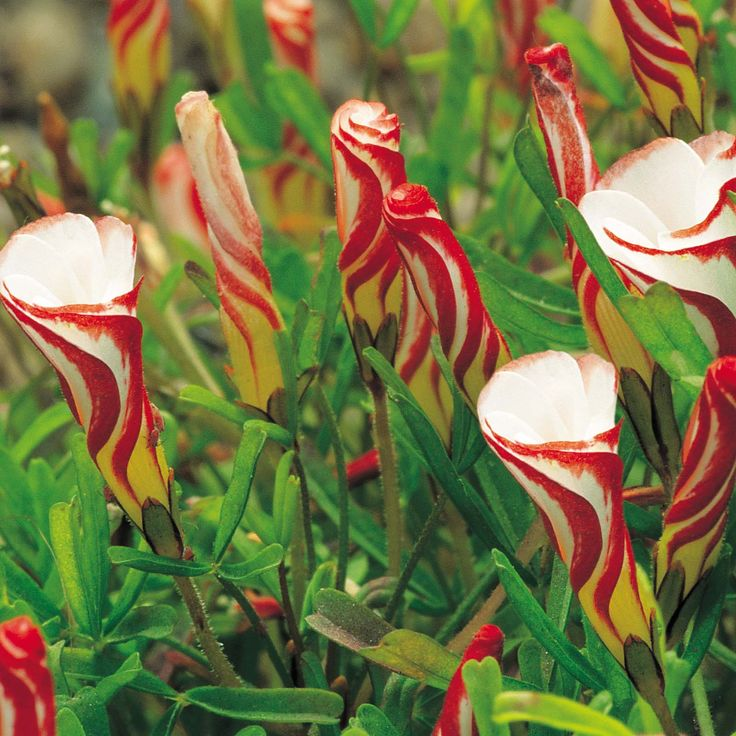 Oxalis versicolor - this alpine flower produces crimson striped buds like tiny striped barbers poles ♥