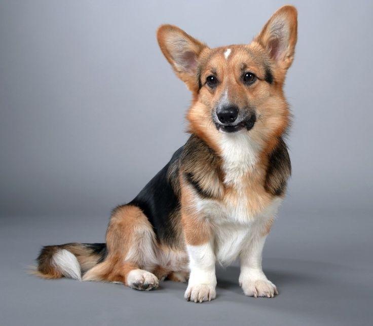 55 Corgi Facts That Make Them The Best Pets Corgi Facts Corgi Dog Breed Pembroke Welsh Corgi Puppies
