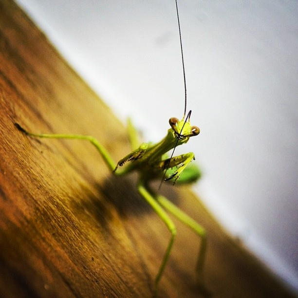 Mantis Religiosa Peinandose la Melena by ajiro dernas, via Flickr