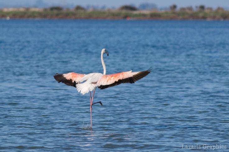 Flamingo στις λιμνοθάλασσες της πόλης της Λευκάδας.  Οι λιμνοθάλασσες Παλιώνης και Αυλέμονας ανατολικά και βόρεια της πόλης της Λευκάδας περιλαμβάνονται στο δίκτυο Natura 2000.