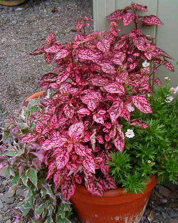 Polka Dot Plant, a good annual for fairy gardens.