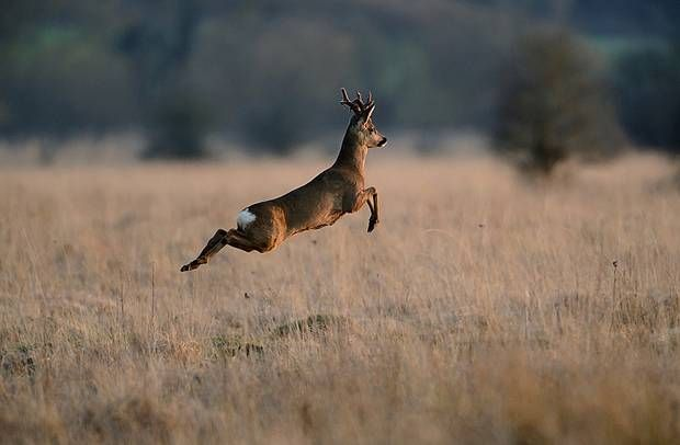 Leaping Buck
