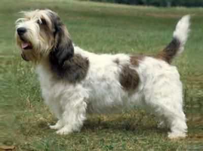"""Petit Basset Griffon Vendéen :   This little dog gives a whole French lesson with his big name: Petit means """"small,"""" basset means """"low to the ground,"""" griffon means """"shaggy-faced"""" (about dogs, in any language), and Vendéen is the area of France that he comes from.   Known in the United States only since the 1980s. I want one!"""