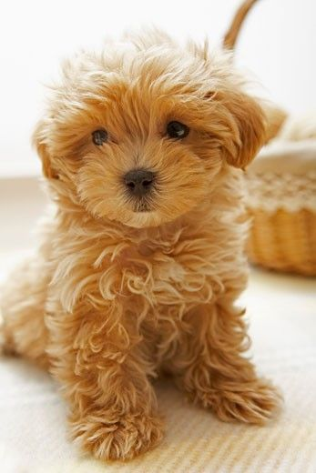 Close-up of a Toy poodle puppy