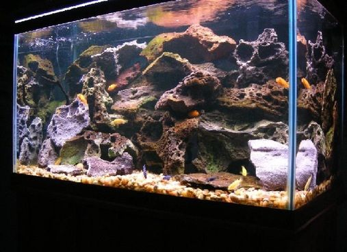 My 58 gallon malawi cichlid tank african cichlids for Cichlid fish tank