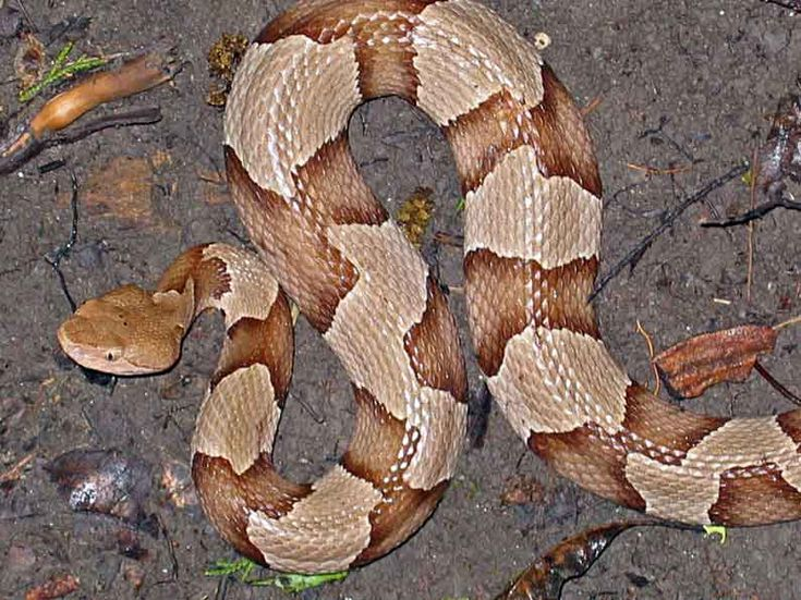 Southern copperhead typical north texas morph snakes Garden snakes in texas