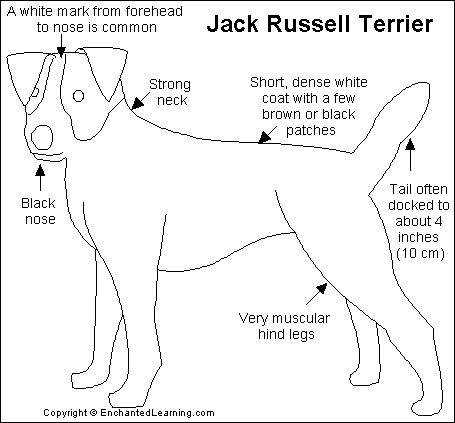jack Russell Terrier Dogs