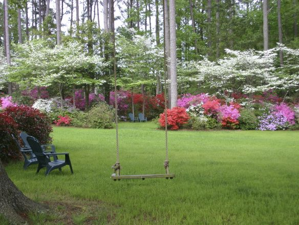 Whites' azaleas Dogwoods and azaleas are a perfect combination and look natural planted at the edge of the woods