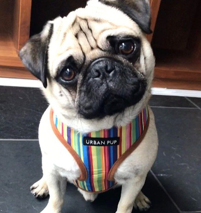 Urban Pup Henley Harness Available At Www Ilovepugs Co Uk Size S