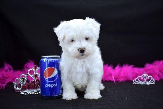 Buffy Maltese Puppy Puppyspot Maltese Puppy Maltese Maltese Dogs