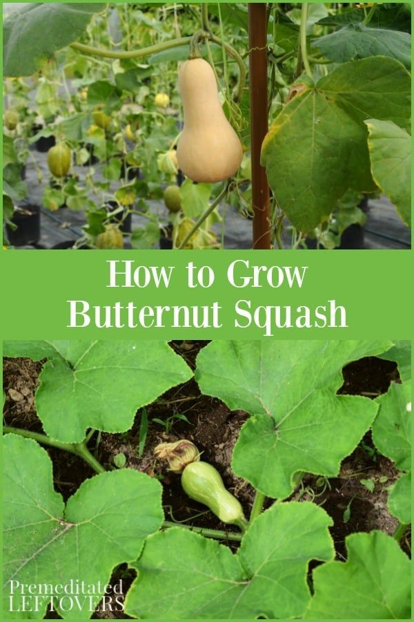 Love Butternut Squash This Guide On How To Grow Butternut Squash Will Teach You How To Plant Butternu Growing Butternut Squash Growing Vegetables Squash Plant