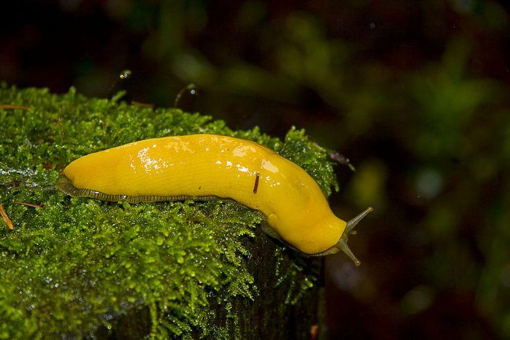 Banana Slug Ucsc Visual Resume Pinterest Belt