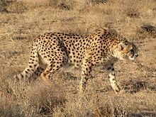 Asiatic Cheetah... on the brink in Iran. http://en.wikipedia.org/wiki/Asiatic_cheetah