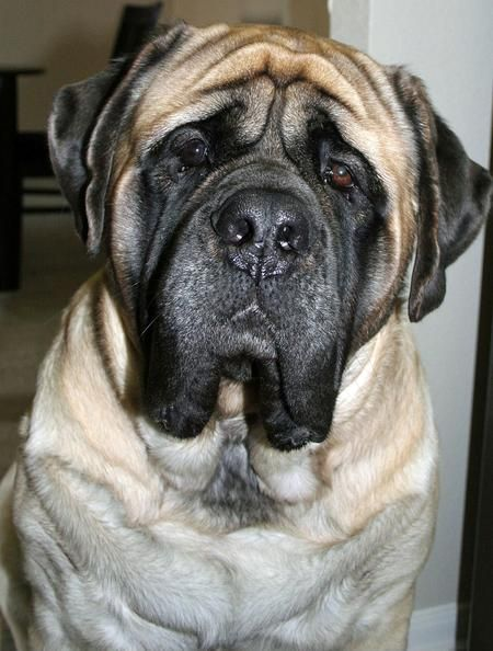 Gus the English Mastiff. I pinned a pic of a puppy and said it looked like a dog I saw at a rest stop, I take it back this dog does.
