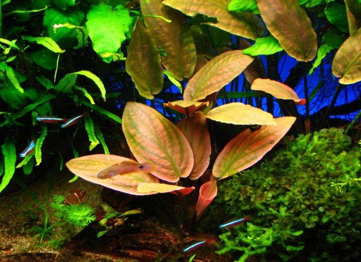 plante naturale acvariu Lagenandra meeboldii red