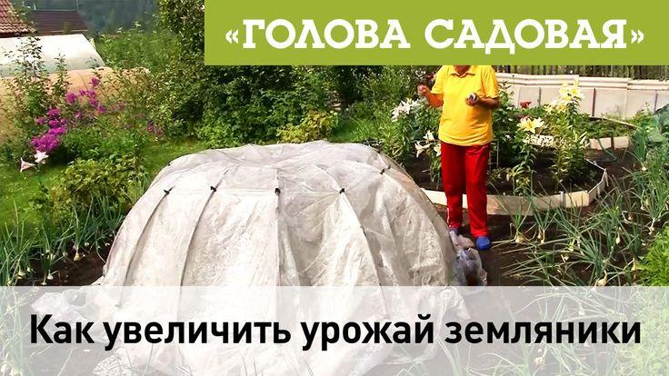 Голова садовая - Как увеличить урожай земляники